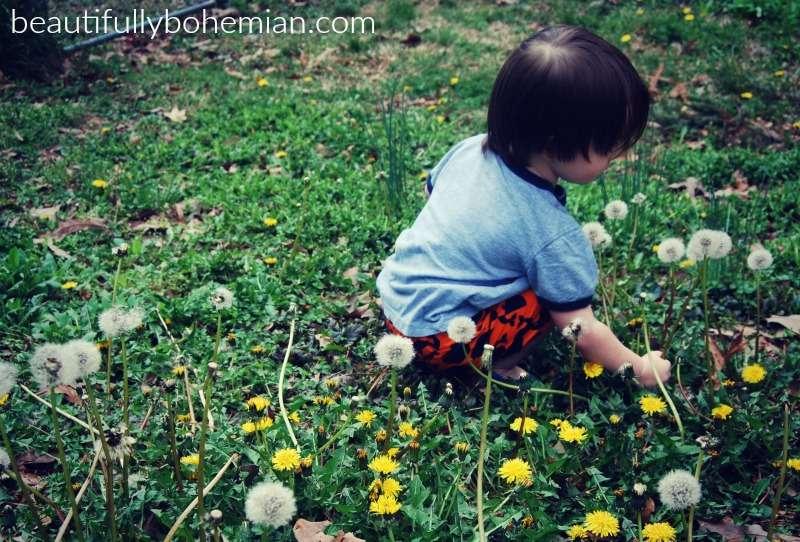 dandelion mady picking
