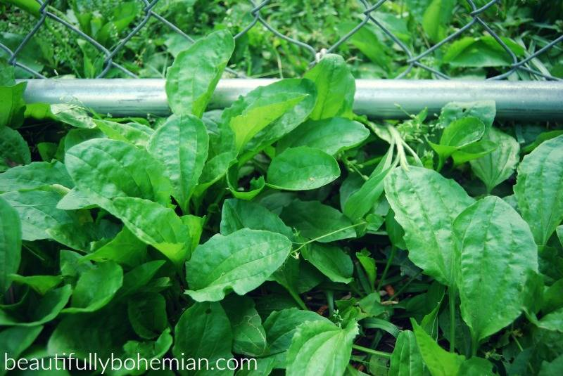 Plantain in your backyard!
