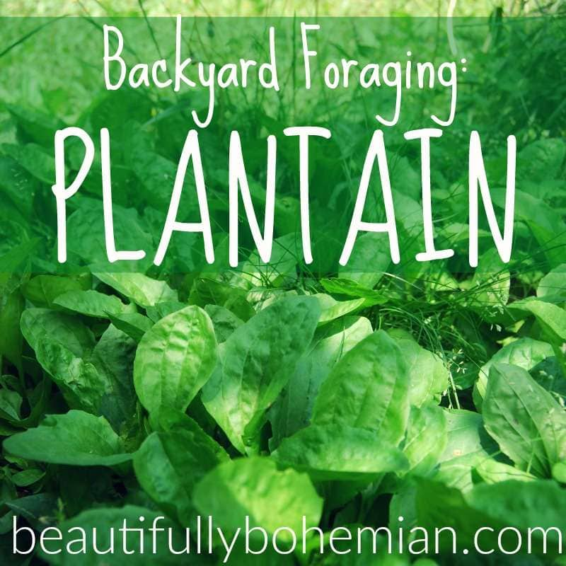 plantain foraging and identification