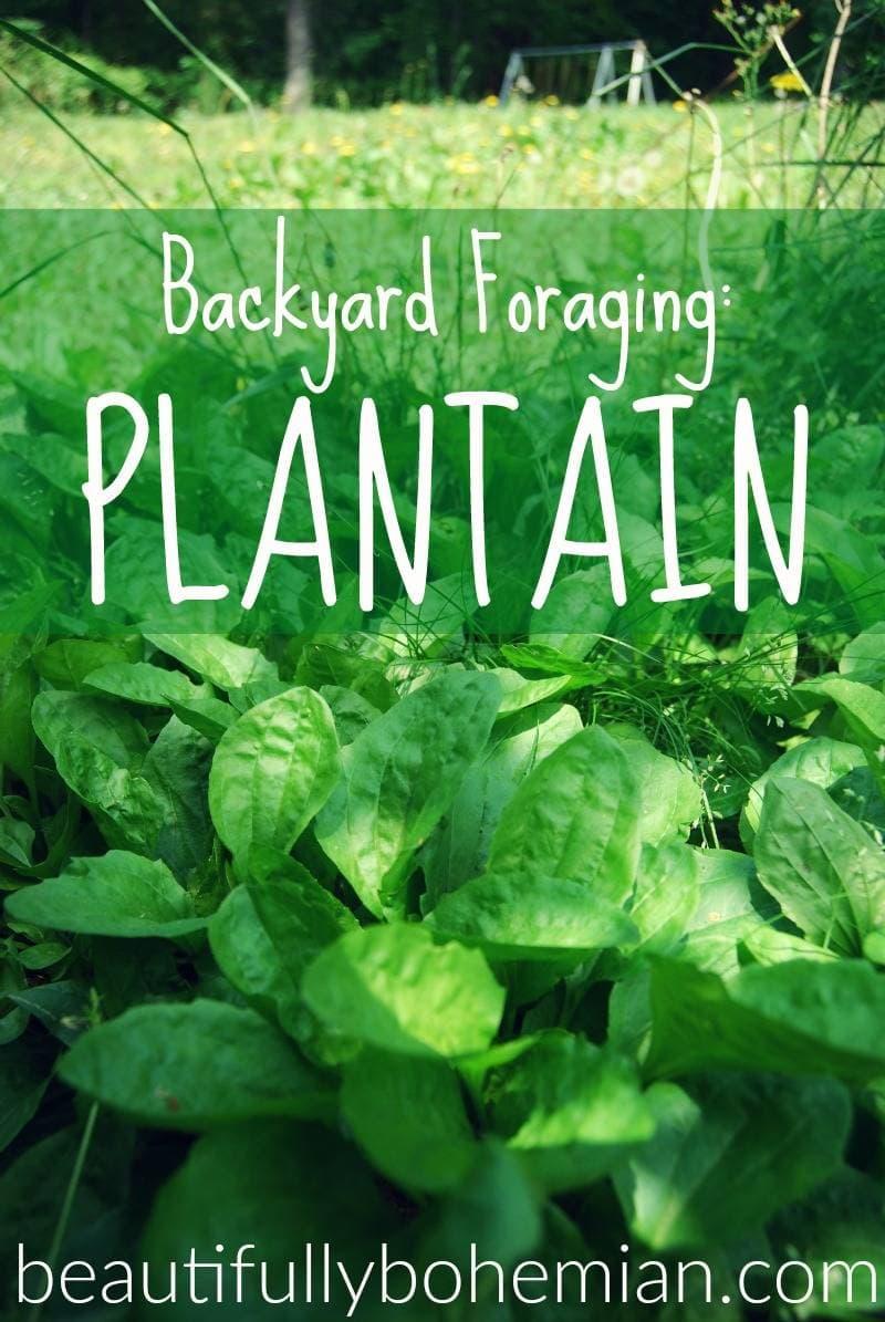 plantain backyard foraging