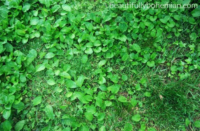plantain in your yard!
