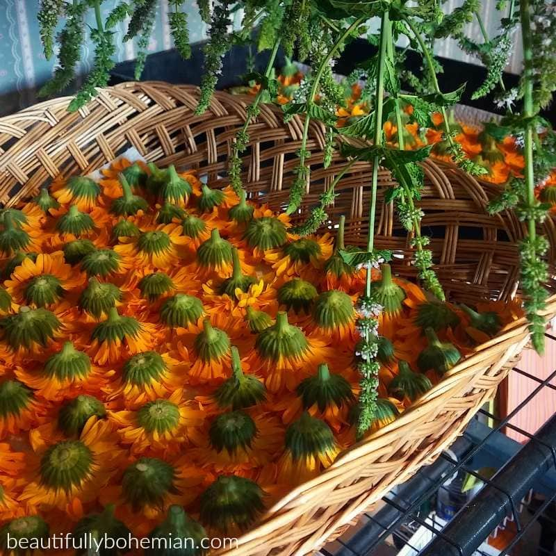 Calendula air drying in baskets. Aren't they stunning!?