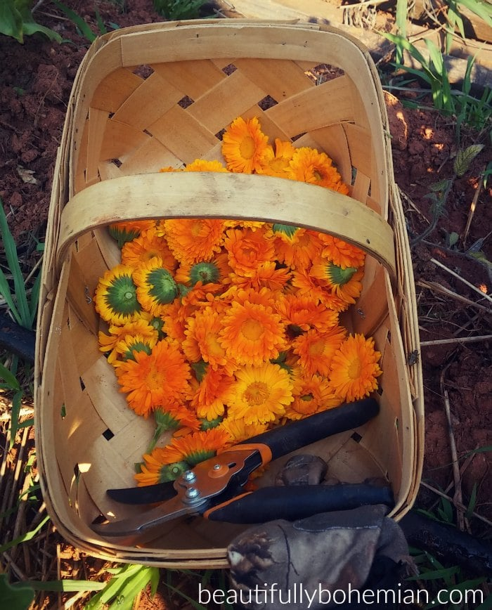 Calendula harvesting in the early morning.
